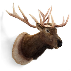 Display - Wall Hanging Elk Head