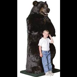 "Display - 6' 6"" Natural Black Bear"